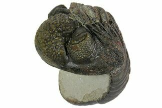 "Bargain, 4"" Enrolled, Pedinopariops Trilobite - Mrakib, Morocco For Sale, #165881"