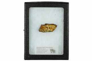 Mammuthus columbi - Fossils For Sale - #165099