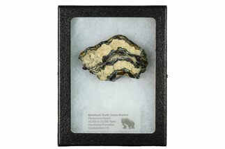 "1.9"" Mammoth Molar Slice with Case - South Carolina For Sale, #165122"