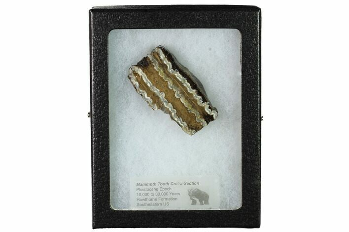 "2.3"" Mammoth Molar Slice with Case - South Carolina"
