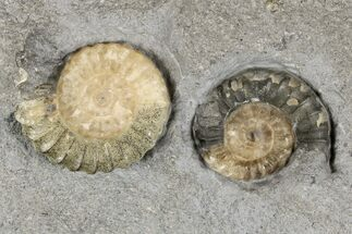 Two Fossil Ammonites (Promicroceras) - Lyme Regis For Sale, #166646