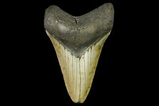 "3.61"" Fossil Megalodon Tooth - North Carolina For Sale, #166979"