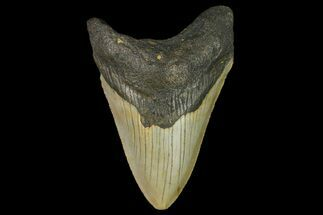 Carcharocles megalodon - Fossils For Sale - #166980