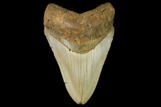 "Buy 3.8"" Fossil Megalodon Tooth - North Carolina - #166981"