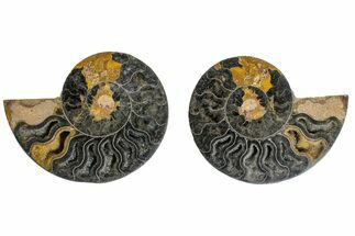 "3.6"" Cut/Polished Ammonite Fossil (Pair) - Unusual Black Color For Sale, #165491"