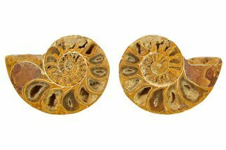 "Buy 1.75 to 2"" Orange, Cut & Polished Ammonite Fossils - Jurassic - #168601"