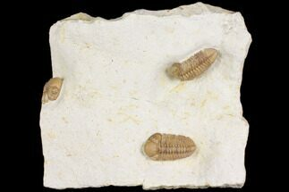 Kainops raymondi - Fossils For Sale - #168873
