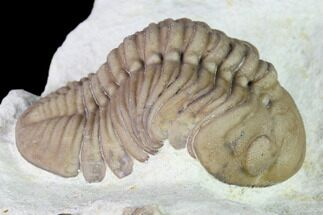 "Buy 2"" Lochovella (Reedops) Trilobite - Black Cat Mountain, Oklahoma - #168862"