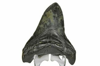 "Buy 4.50"" Fossil Megalodon Tooth - South Carolina - #169195"