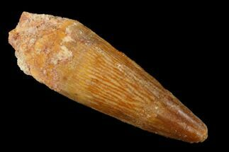 "Buy 1.8"" Spinosaurus Tooth - Real Dinosaur Tooth - #169579"