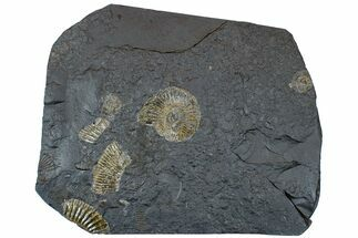 "Buy 7.4"" Dactylioceras Ammonite Cluster - Posidonia Shale, Germany - #169459"