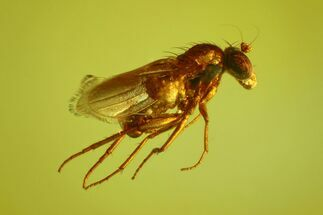 Buy Detailed Fossil Fly (Diptera) In Baltic Amber - #170035