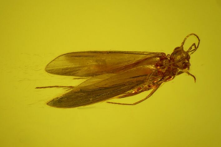 Detailed Fossil Caddisfly (Trichoptera) In Baltic Amber