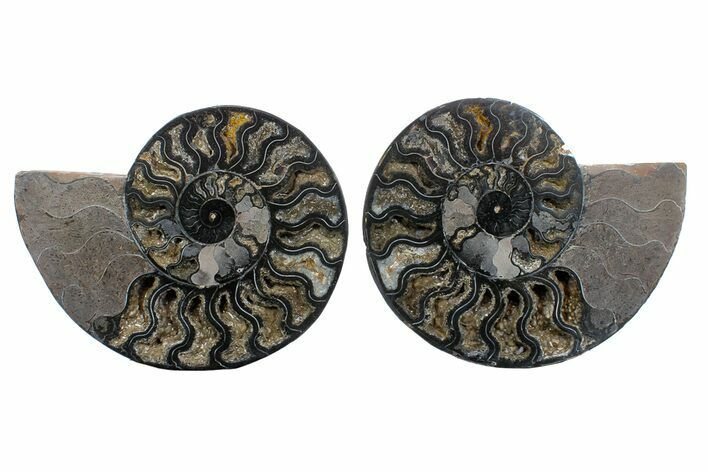 "8.1"" Cut/Polished Ammonite Fossil (Pair) - Unusual Black Color"
