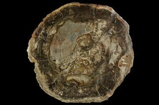 "17.5"" Petrified Wood (Araucaria) Round - Madagascar  For Sale, #170384"