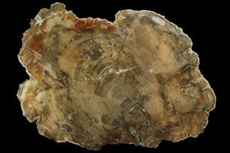"Buy 20.3"" Petrified Wood (Araucaria) Round - Madagascar  - #170386"