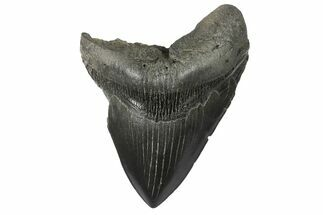 "Bargain, 4.63"" Fossil Megalodon Tooth - South Carolina For Sale, #168878"