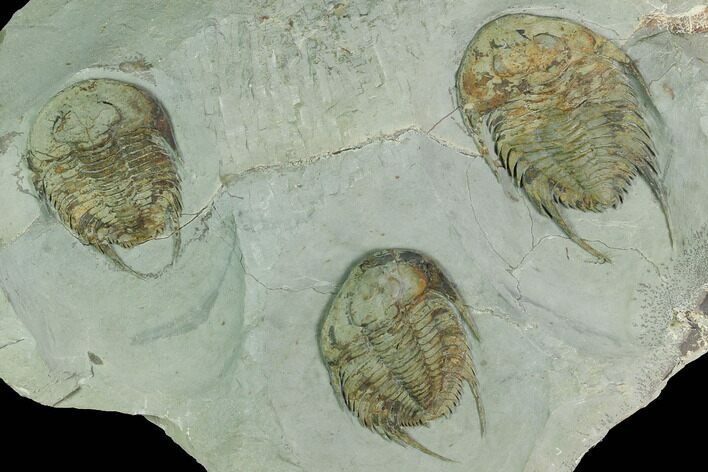 Three Lower Cambrian Trilobites (Neltneria) - Issafen, Morocco