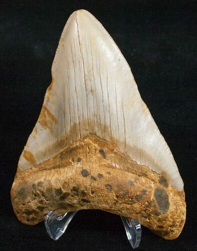 "4.06"" Megalodon Tooth - North Carolina"