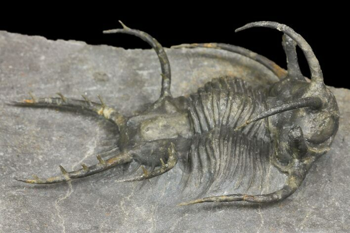 "1.75"" Ceratarges Trilobite With Spines-On-Spines - Zireg, Morocco"