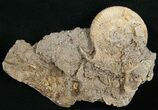 Dactylioceras Ammonite Cluster - Germany - #11190-2
