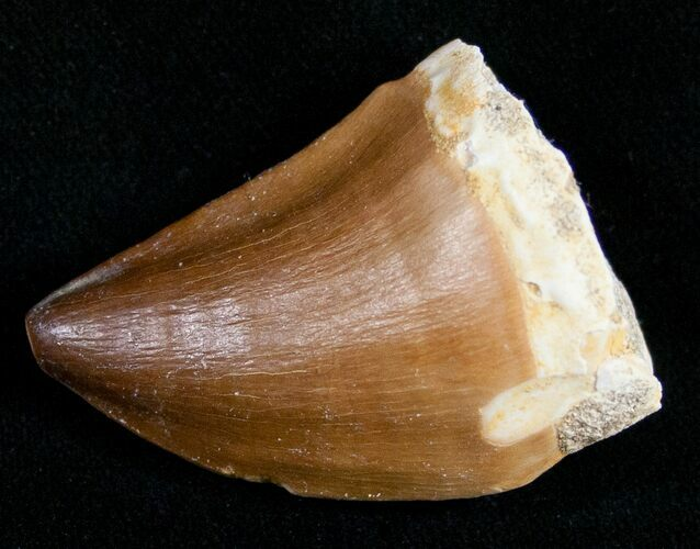 "1.5"" Mosasaur Tooth - Cretaceous Reptile"