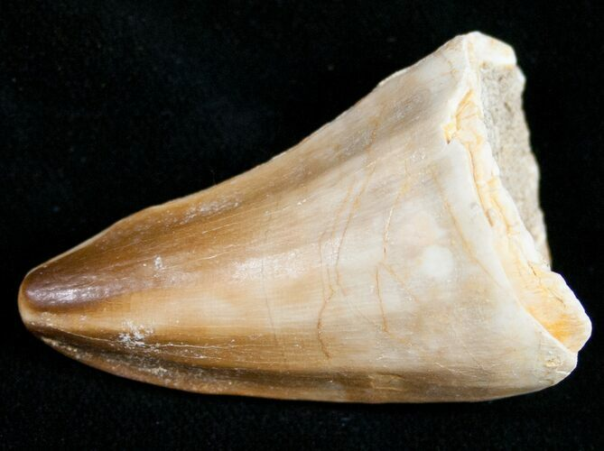 "1.8"" Mosasaur Tooth - Cretaceous Reptile"
