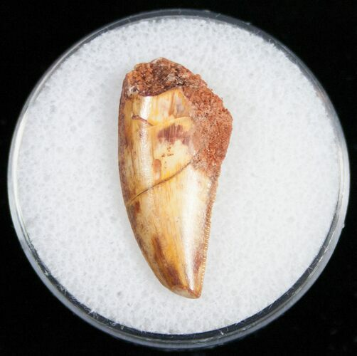 Raptor Tooth From Morocco - 1.01""