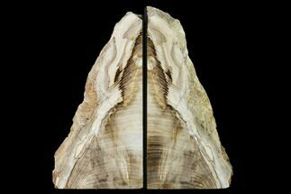 "Buy 6.6"" Petrified Wood Bookends - Oregon - #171982"