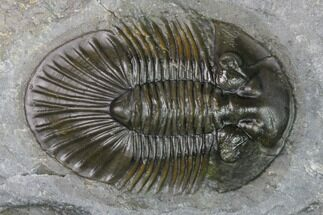 "1.35"" Scabriscutellum Trilobite - Morocco For Sale, #171518"