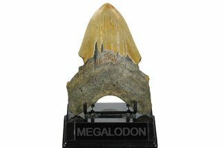 "Bargain, 5.01"" Fossil Megalodon Tooth - North Carolina For Sale, #172598"