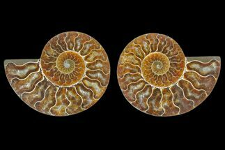 Cleoniceras sp. - Fossils For Sale - #166863