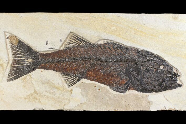 "15.6"" Uncommon Fish Fossil (Mioplosus) - Wyoming"