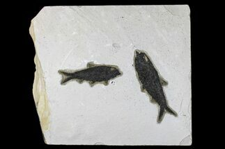 "11.2"" Fossil Fish (Knightia) Plate - Green River Formation For Sale, #172973"