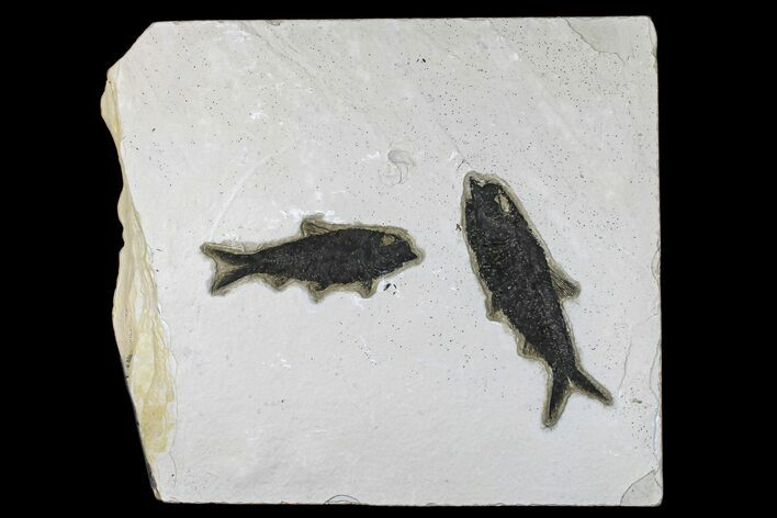 "11.2"" Fossil Fish (Knightia) Plate - Green River Formation"