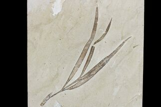 "9.2"" Cretaceous Plant (Sapindopsis) Fossil - Nammoura Quarry For Sale, #173132"