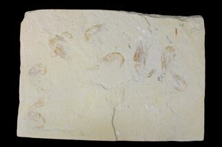Nine Cretaceous Fossil Shrimp (Carpopenaeus) - Hjoula, Lebanon For Sale, #173150