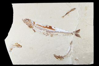 Prionolepis sp. & Gaudryella sp. - Fossils For Sale - #173361