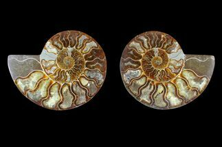 Cleoniceras sp. - Fossils For Sale - #169458