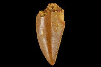 "Serrated, .6"" Raptor Tooth - Real Dinosaur Tooth For Sale, #173540"