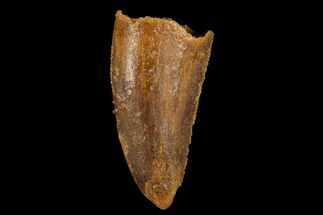 "Bargain, .66"" Raptor Tooth - Real Dinosaur Tooth For Sale, #173564"