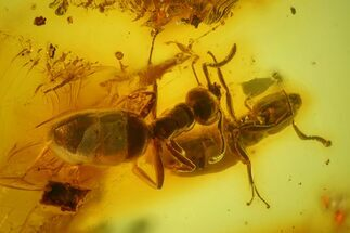 Two Detailed Fossil Ants (Formicidae) In Baltic Amber For Sale, #173678