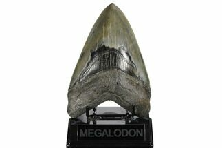 "Serrated, 5.60"" Fossil Megalodon Tooth - Glossy Enamel For Sale, #173891"