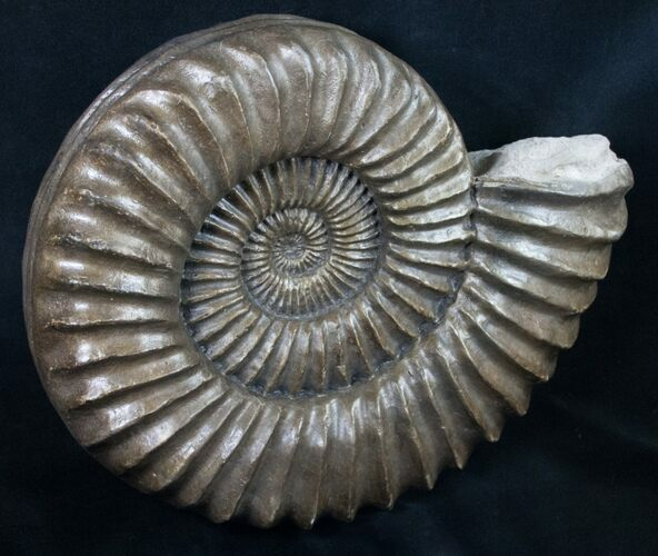 "Large Coroniceras Ammonite From France - 11"" Wide"