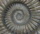 "Large Coroniceras Ammonite From France - 11"" Wide - #11318-2"