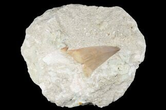 "Buy 3.4"" Eocene Otodus Shark Tooth Fossil in Rock - Huge Tooth! - #174166"