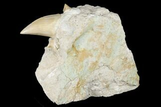 "Buy 2.65"" Otodus Shark Tooth Fossil in Rock - Eocene - #174157"
