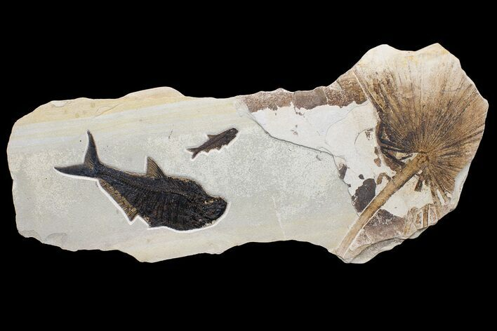 "47"" Wide Fossil Fish & Palm Mural - Green River Formation, Wyoming"