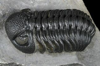 "Buy 2.3"" Detailed Morocops Trilobite - Ofaten, Morocco - #174742"