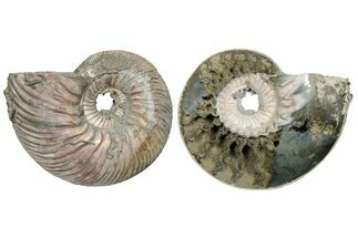 Quenstedticeras sp. - Fossils For Sale - #174978